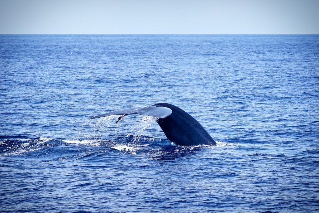 Whale watching in mirissa, sri lanka-a blue whale diving