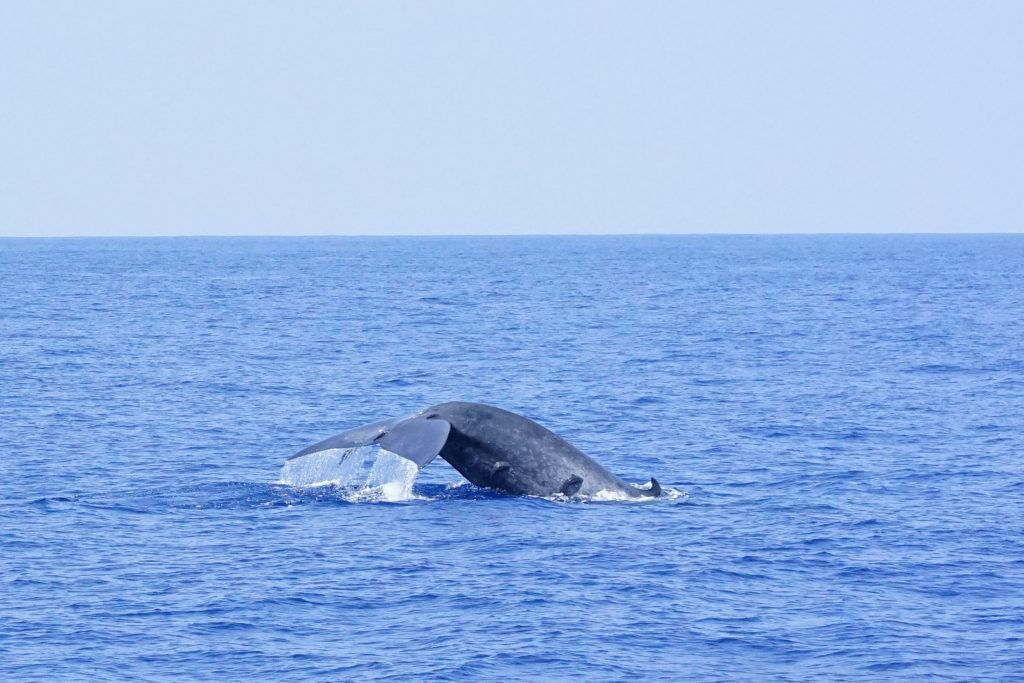 Whale watching in Mirissa, Sri Lanka-A blue whale diving below the surface