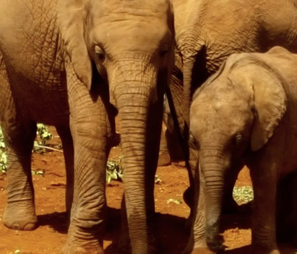 Elephant orphans huddled together in Nairobi's elephant orphanage
