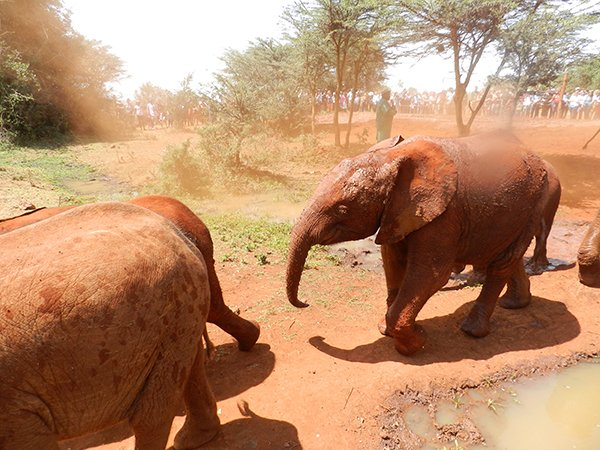 Elephants running in the mud at Nairobi's elephant orphanage