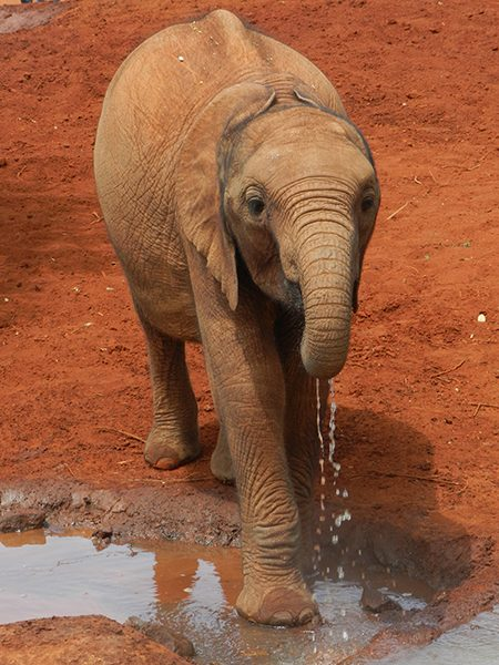 Baby elephant at Nairobi's elephant orphanage