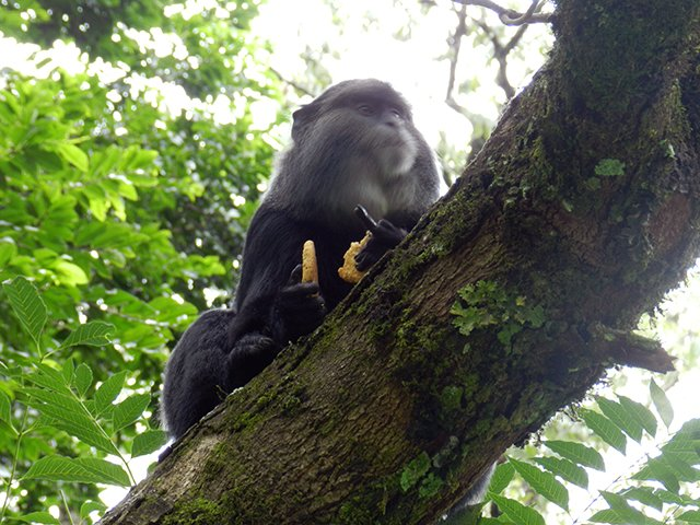 Monkey stealing our food in Kakamega rainforest