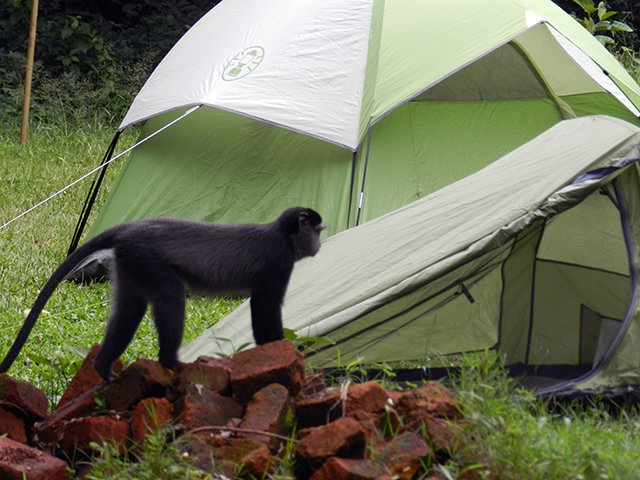 Campsite with a monkey exploring it!