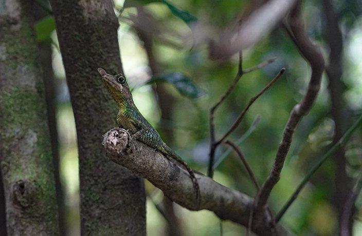 A leak nosed lizard seen on when trekking the knuckles mountain range