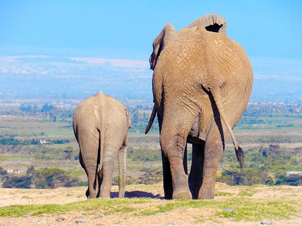 TWO ELEPHANT BUMS ON THE 10 DAYS IN KENYA ITINERARY