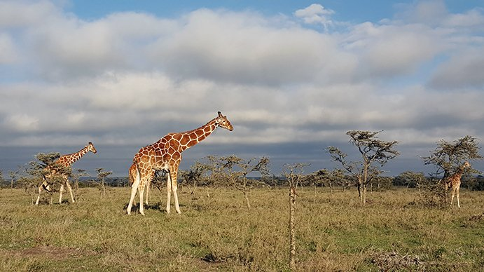 a giraffe wandering through a field on a safari in kenya