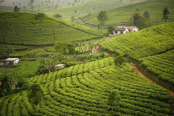LIPTON'S SEAT TEA FIELDS IN SRI LANKA