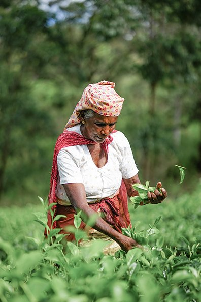 A LOCAL TEA PICKER AT LIPTON'S SEAT TEA FIELDS IN SRI LANKA