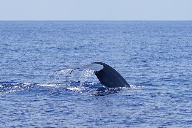 A blue whale diving off the coast of mirissa