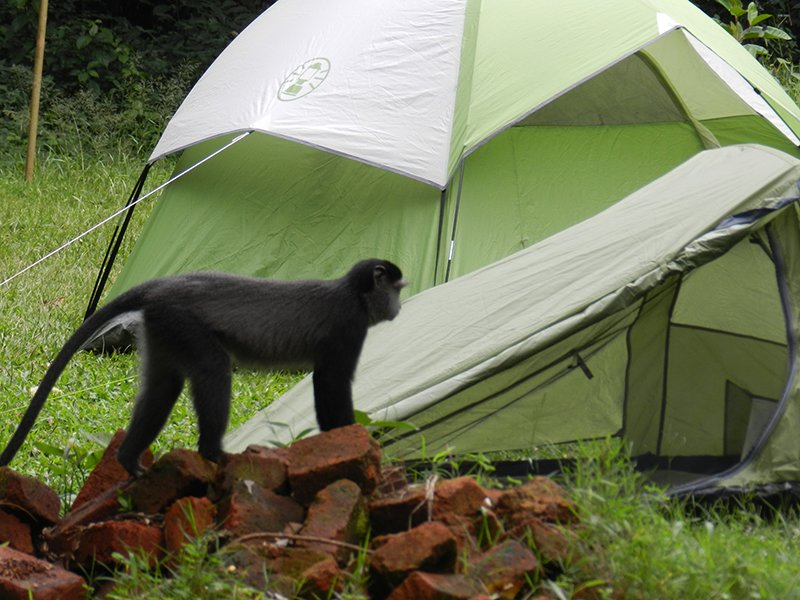 A CAMPSITE WITH A MONKEY WALKING THROUGH IT AT KALAMEGA RAINFOREST IN KENYA
