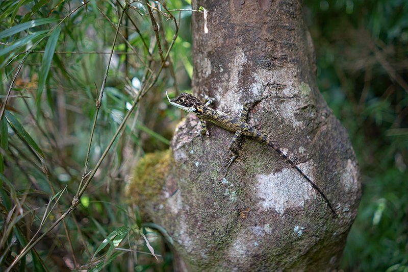 A lizard in the tree on the way to Lovers Leap Waterfalls