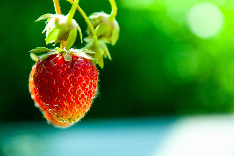 A single strawberry at nuwara eliya strawberry farm