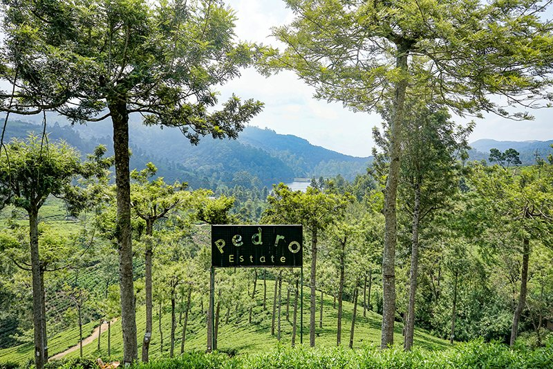 THE GROUNDS OF PEDRO TEA ESTATE COVERED IN TREES