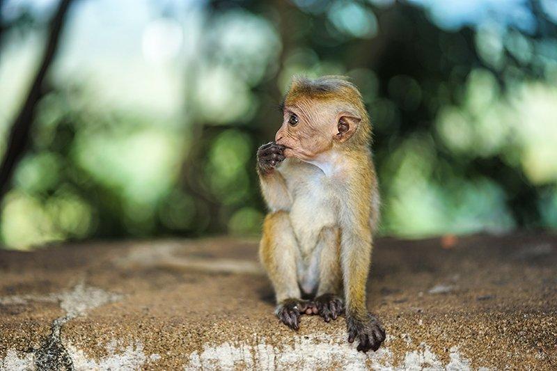 A little monkey in sigiriya