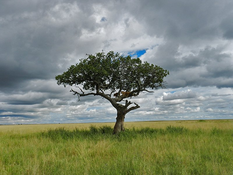 A TREE WITH LIONS IN IT IN TANZANIA'S BEST SAFARI PARKS