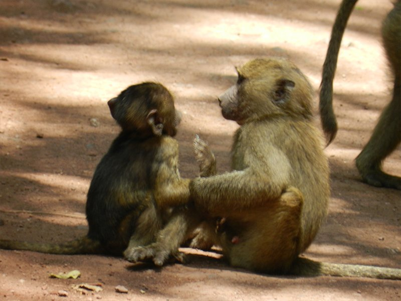 TWO MONKEYS PLAYING IN TANZANIAS BEST SAFARI PARKS