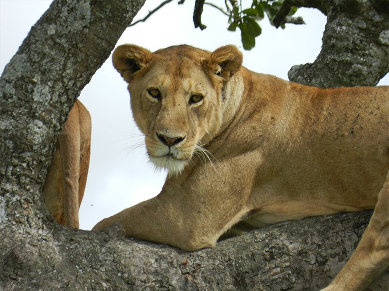 A TREE CLIMBING LION CLOSE UP IN ONE OF THE BEST SAFARI PARKS IN TANZANIA