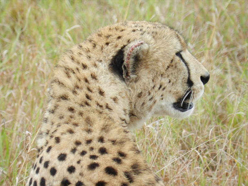 A CHEETAH CAMOUFLAGED IN TANZANIA'S SERENGETI