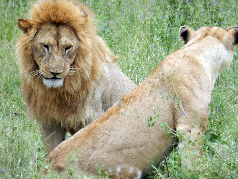 TWO LIONS IN AFRICA, SAT FACING OPPOSITE DIRECTIONS