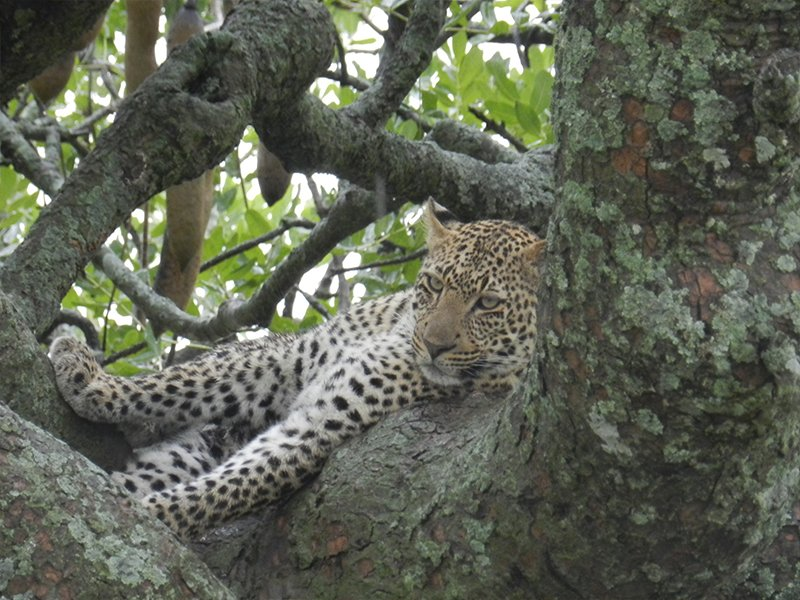 SPOTTING A LEOPARD IN THE BEST TANZANIA SAFARI PARKS