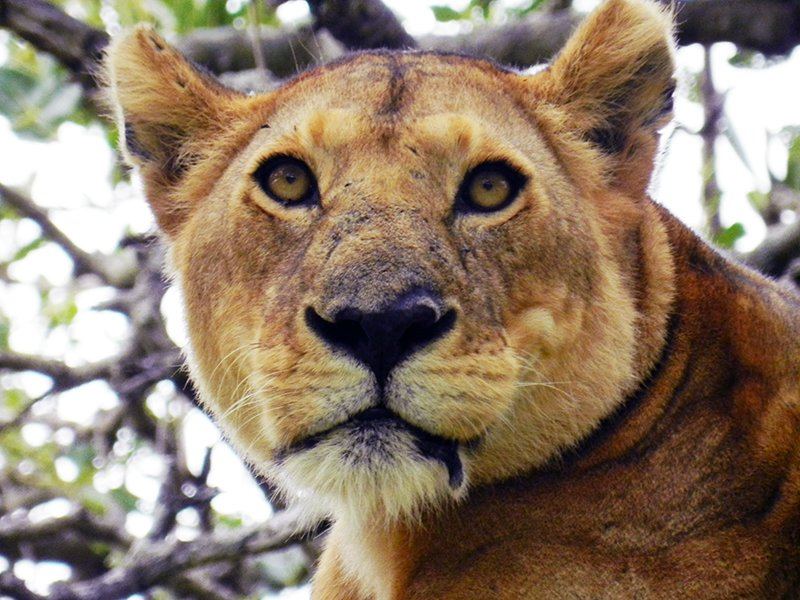TANZANIA SAFARI LION CLOSE UP