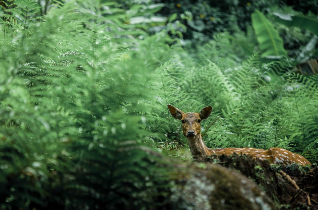 A SHY DEER IN THE BUSHES AT CHITWAN NATIONAL PARK