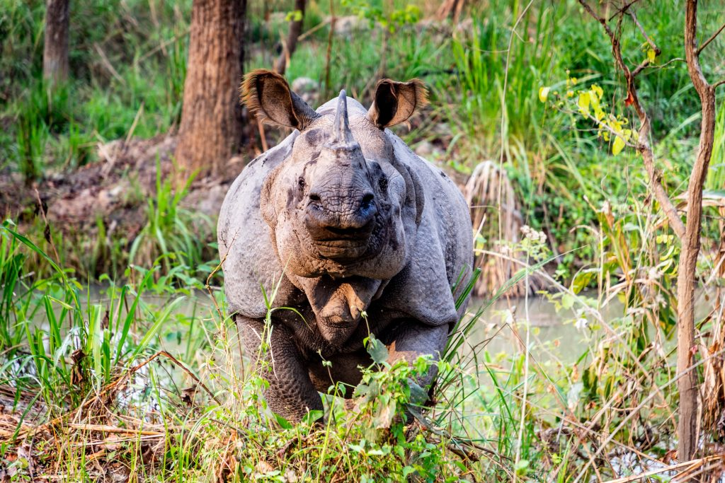 a rhino charging towards the camera in Nepal