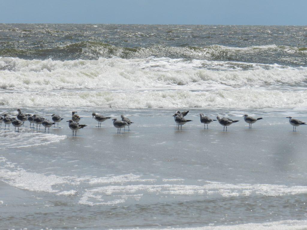 seagulls at hunting island