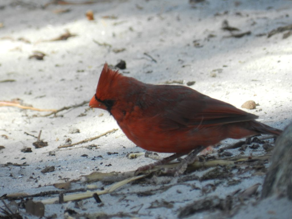 a little bird at hunting island state park sc