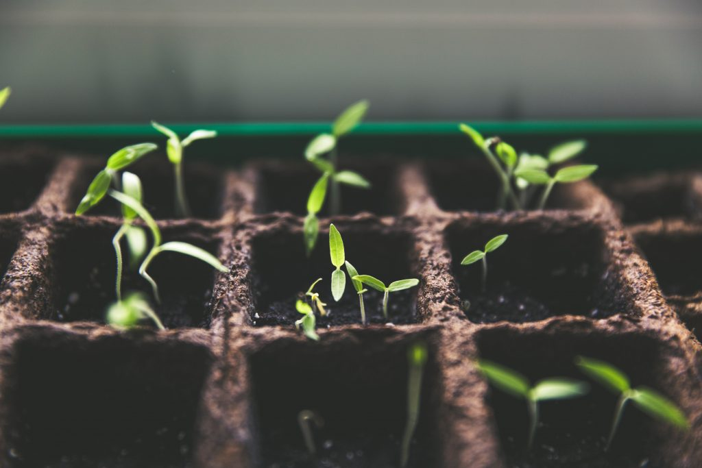 seedlings growing in plant pots