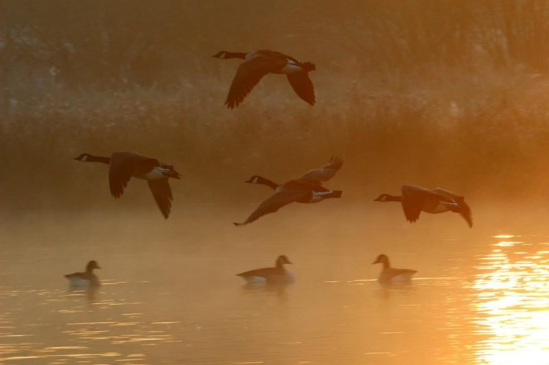 geese flying over a lake in england at winter time