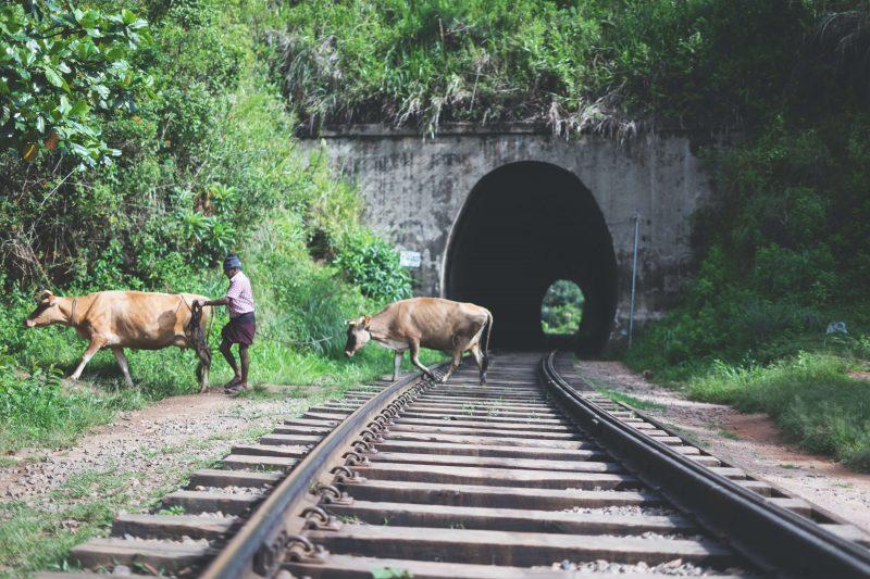 some cows and a farmer walking along the nine arch bridge railway line