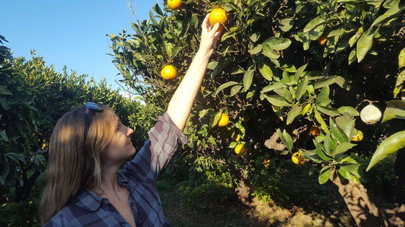 a girl picking fresh oranges on leros island in greece