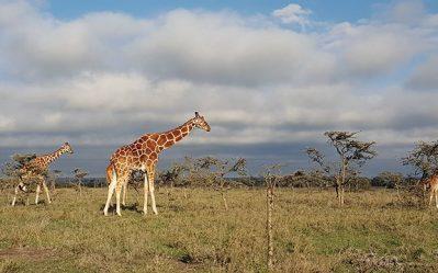 a giraffe wandering through a field on a safari in kenya